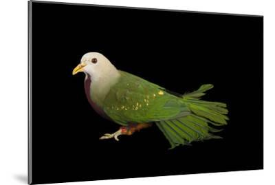 A Wompoo Fruit Dove, Ptilinopus Magnificus, at the Kansas City Zoo-Joel Sartore-Mounted Photographic Print