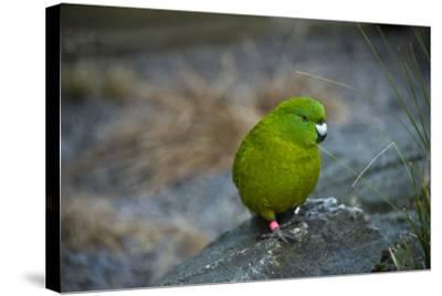 The Antipodes Parakeet, Cyanoramphus Unicolor, at the Auckland Zoo-Joel Sartore-Stretched Canvas Print