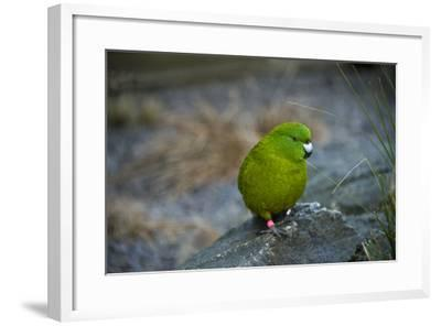 The Antipodes Parakeet, Cyanoramphus Unicolor, at the Auckland Zoo-Joel Sartore-Framed Photographic Print