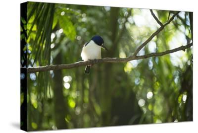 A Forest Kingfisher, Todiramphus Macleayii, at the Taronga Zoo-Joel Sartore-Stretched Canvas Print