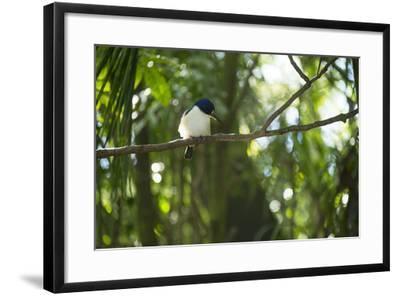 A Forest Kingfisher, Todiramphus Macleayii, at the Taronga Zoo-Joel Sartore-Framed Photographic Print