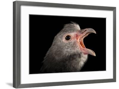 A Southern Screamer, Chauna Torquata, at the Kansas City Zoo-Joel Sartore-Framed Photographic Print