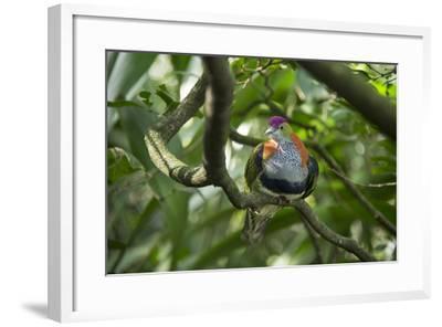 A Superb Fruit-Dove, Ptilinopus Superbus, at the Taronga Zoo-Joel Sartore-Framed Photographic Print