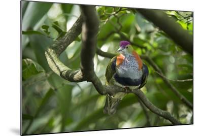 A Superb Fruit-Dove, Ptilinopus Superbus, at the Taronga Zoo-Joel Sartore-Mounted Photographic Print