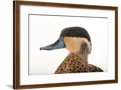 A Hottentot Teal, Anas Hottentota, at the Kansas City Zoo-Joel Sartore-Framed Photographic Print
