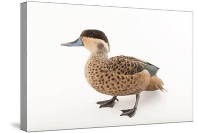 A Hottentot Teal, Anas Hottentota, at the Kansas City Zoo-Joel Sartore-Stretched Canvas Print