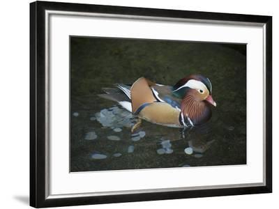 A Mandarin Duck, Aix Galericulata, at the Taronga Zoo-Joel Sartore-Framed Photographic Print