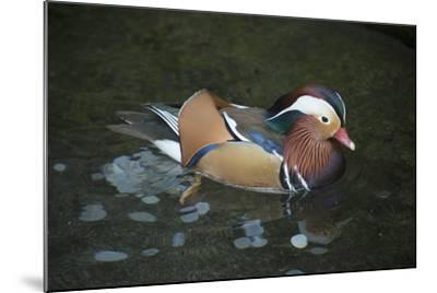 A Mandarin Duck, Aix Galericulata, at the Taronga Zoo-Joel Sartore-Mounted Photographic Print