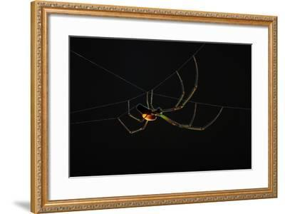 A Parasitoid Wasp Catches and Paralyzes a Spider, Then Lays its Egg on the Spider's Abdomen-Anand Varma-Framed Photographic Print