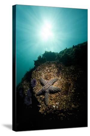 A Sea Star-Cesare Naldi-Stretched Canvas Print
