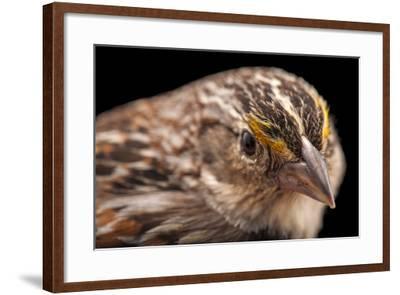 A Florida Grasshopper Sparrow, Ammodramus Savannarum Floridanus-Joel Sartore-Framed Photographic Print