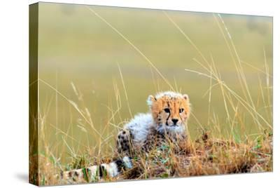 An African Cheetah Cub Resting Near its Mother's Tail-Babak Tafreshi-Stretched Canvas Print