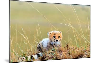 An African Cheetah Cub Resting Near its Mother's Tail-Babak Tafreshi-Mounted Photographic Print