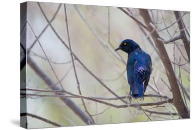 A Cape Glossy Starling, Lamprotornis Nitens, Rests on a Branch in Etosha National Park-Alex Saberi-Stretched Canvas Print
