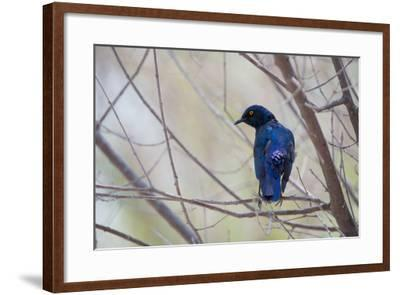 A Cape Glossy Starling, Lamprotornis Nitens, Rests on a Branch in Etosha National Park-Alex Saberi-Framed Photographic Print