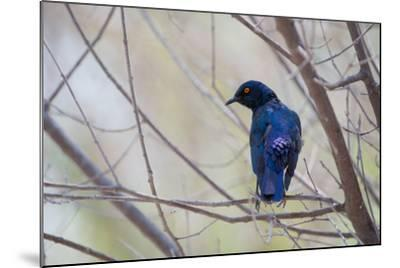 A Cape Glossy Starling, Lamprotornis Nitens, Rests on a Branch in Etosha National Park-Alex Saberi-Mounted Photographic Print