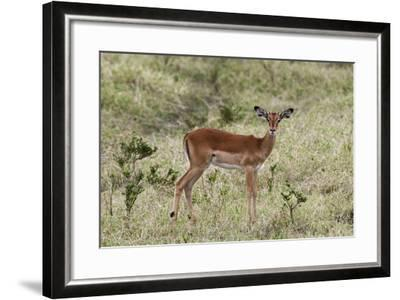 Portrait of a Young Male Impala, Aepyceros Melampus, Looking at the Camera-Sergio Pitamitz-Framed Photographic Print