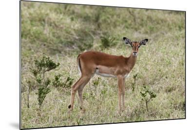 Portrait of a Young Male Impala, Aepyceros Melampus, Looking at the Camera-Sergio Pitamitz-Mounted Photographic Print