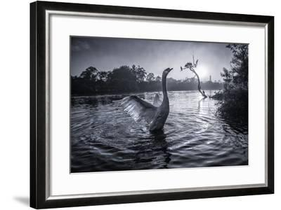 A Male Mute Swan in a Pond Stretches His Wings in Ibirapuera Park-Alex Saberi-Framed Photographic Print
