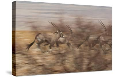 A Group of Oryx on the Run in Namib-Naukluft National Park-Alex Saberi-Stretched Canvas Print