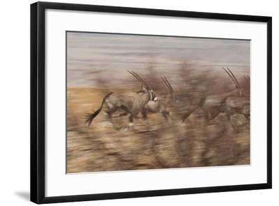 A Group of Oryx on the Run in Namib-Naukluft National Park-Alex Saberi-Framed Photographic Print