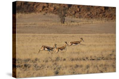 Three Springbok on the Run in Namib-Naukluft National Park-Alex Saberi-Stretched Canvas Print