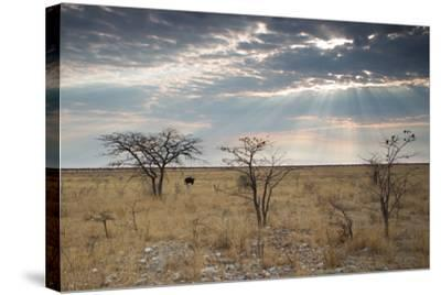 An Ostrich at Sunrise in Etosha National Park-Alex Saberi-Stretched Canvas Print