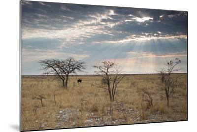 An Ostrich at Sunrise in Etosha National Park-Alex Saberi-Mounted Photographic Print