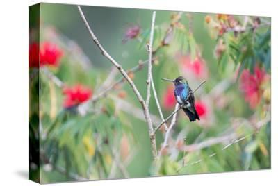 A White-Chinned Sapphire Hummingbird (Hylocharis Cyanus) Perches on a Branch in Brazil-Alex Saberi-Stretched Canvas Print