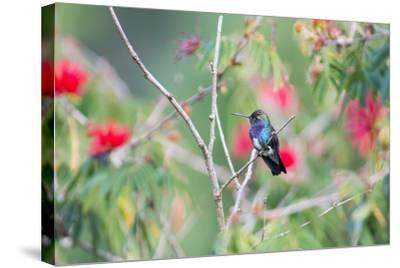A White-Chinned Sapphire Hummingbird (Hylocharis Cyanus) Perches on a Branch in Brazil-Alex Saberi-Stretched Canvas Print