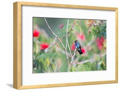 A White-Chinned Sapphire Hummingbird (Hylocharis Cyanus) Perches on a Branch in Brazil-Alex Saberi-Framed Photographic Print