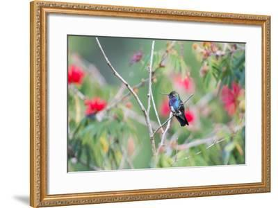 A White-Chinned Sapphire Hummingbird (Hylocharis Cyanus) Perches on a Branch in Brazil-Alex Saberi-Framed Photographic Print