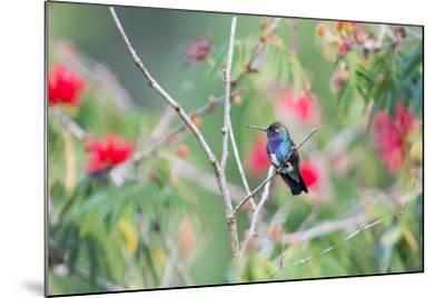 A White-Chinned Sapphire Hummingbird (Hylocharis Cyanus) Perches on a Branch in Brazil-Alex Saberi-Mounted Photographic Print