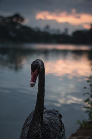 A Portrait of a Black Swan in Ibirapuera Park, Sao Paulo, Brazil-Alex Saberi-Framed Photographic Print