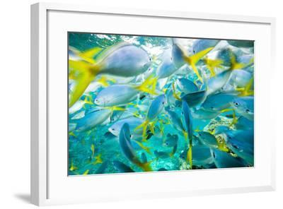 A Densely Packed School of Yellow Tailed Fusiliers-Michael Melford-Framed Photographic Print