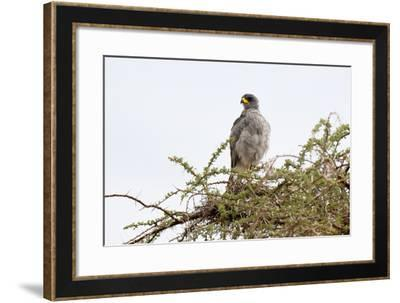 An Eastern Chanting Goshawk, Melierax Poliopterus, Perching in a Tree-Sergio Pitamitz-Framed Photographic Print