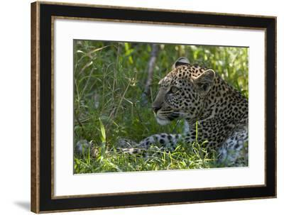 Portrait of a Young Leopard, Panthera Pardus, Resting in the Shade-Sergio Pitamitz-Framed Photographic Print