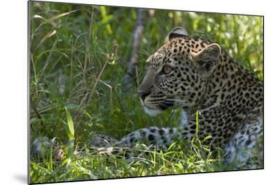 Portrait of a Young Leopard, Panthera Pardus, Resting in the Shade-Sergio Pitamitz-Mounted Photographic Print