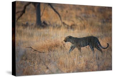 A Leopard, Panthera Pardus Pardus, Walks Through Grassland Aglow in the Setting Sun-Alex Saberi-Stretched Canvas Print