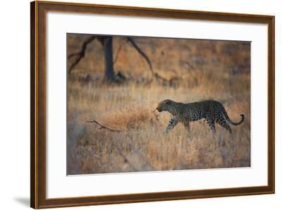 A Leopard, Panthera Pardus Pardus, Walks Through Grassland Aglow in the Setting Sun-Alex Saberi-Framed Photographic Print
