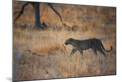 A Leopard, Panthera Pardus Pardus, Walks Through Grassland Aglow in the Setting Sun-Alex Saberi-Mounted Photographic Print
