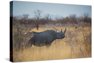 A Black Rhinoceros, Diceros Bicornis, Feeds Off a Spiny Acacia Bush at Sunset-Alex Saberi-Stretched Canvas Print
