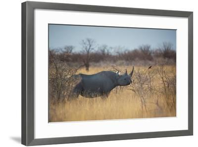 A Black Rhinoceros, Diceros Bicornis, Feeds Off a Spiny Acacia Bush at Sunset-Alex Saberi-Framed Photographic Print