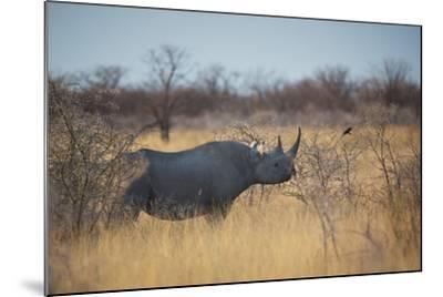 A Black Rhinoceros, Diceros Bicornis, Feeds Off a Spiny Acacia Bush at Sunset-Alex Saberi-Mounted Photographic Print