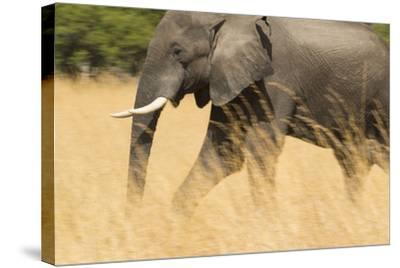 An African Elephant Walking in Tall Grass at the Selinda Reserve-Michael Melford-Stretched Canvas Print