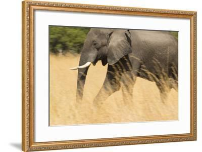 An African Elephant Walking in Tall Grass at the Selinda Reserve-Michael Melford-Framed Photographic Print