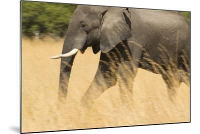 An African Elephant Walking in Tall Grass at the Selinda Reserve-Michael Melford-Mounted Photographic Print