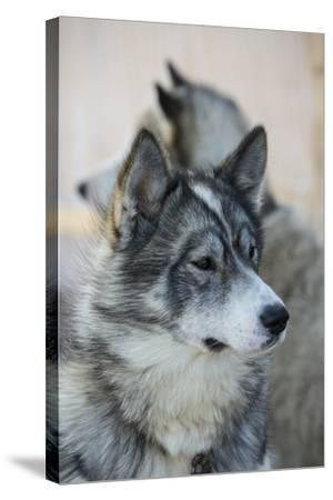 A Portrait of a Pair of Huskies-Michael Melford-Stretched Canvas Print