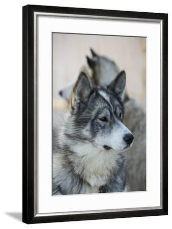 A Portrait of a Pair of Huskies-Michael Melford-Framed Photographic Print