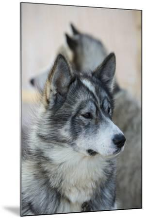 A Portrait of a Pair of Huskies-Michael Melford-Mounted Photographic Print